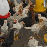 8 Penyebab Ayam Kampung Super Tidak Mencapai Bobot Badan Sesuai Standar