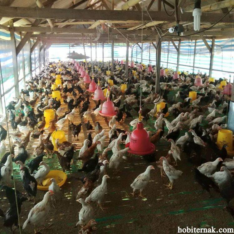 Ayam Kampung Super atau JOPER masa panen 60 hari