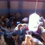 Perbedaan Mengembangbiakan Ayam Kampung Super Pedaging Secara Alami dan Metode Inseminasi Buatan (IB)