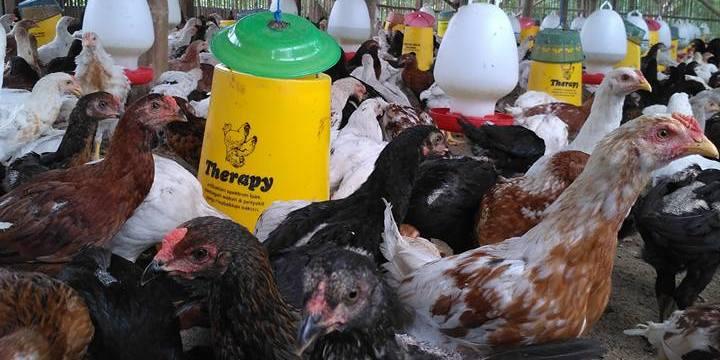 Tips Ternak Ayam Kampung Super