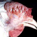 Penyakit Ngorok pada Ayam Kampung Super