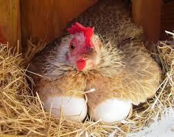 Ayam sedang bertelur