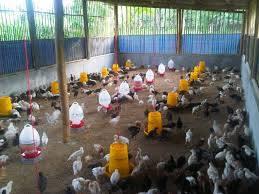 Mempersiapkan Kandang Sebelum Digunakan Untuk Memelihara Ayam Kampung Super Hobi Ternak