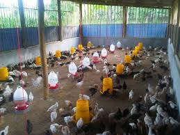 Mempersiapkan Kandang Sebelum Digunakan Untuk Memelihara Ayam Kampung Super