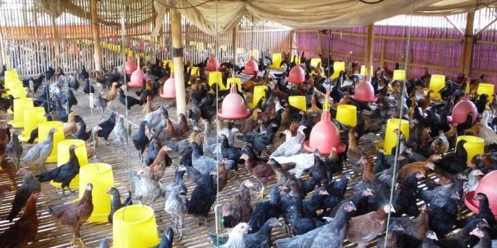 5 Persiapan yang Dibutuhkan Saat Memanen Ayam Kampung Super