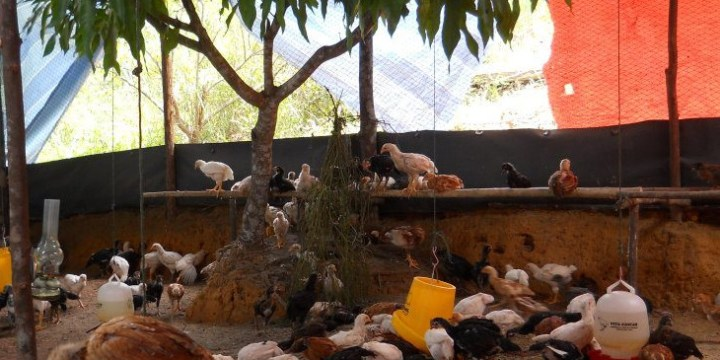Peluang Usaha dan Harga Jual DOC Ayam Kampung Super Kota Jakarta