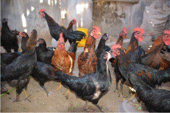 Pemberian Pakan Ayam Kampung Super Hingga Dapat Dipanen Pada Umur 6 Minggu