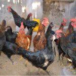 Mengenal Lebih Dekat Dengan Ayam Kampung Unggulan Balitnak (KUB)