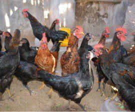 Ayam kampung unggulan