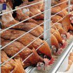 Kebutuhan Nutrisi Bibit atau Anakan Ayam Petelur Dari Fase Starter Hingga Layer