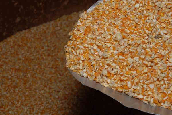 Pemberian jagung untuk ayam serama memiliki peran sebagai pembentukan cangkang telur ayam serama betina