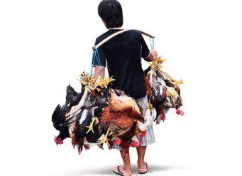Jual DOC atau Bibit Ayam Kampung Super di Daerah Medan Sebagai Terobosan Peluang Ternak Ayam