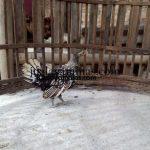 Ayam Batik Itali Usia 2 Bulan
