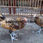 Ayam Batik Kanada Cokelat Gold Usia 4 Bulan