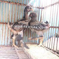 Memelihara Ayam Brahma
