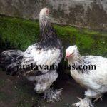 Ayam Brahma Usia 2 Bulan2