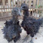 Cemani Walik Chicken Age 4 Month