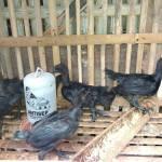 Cemani Chicken Age 1 Month