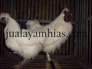 Ayam Kapas Jantan