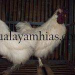 Ayam Kapas Usia Dewasa
