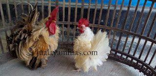 Mengetahui  Ayam Kate Walik Terbaru