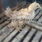 Ayam Kate Walik Usia 2 Bulan