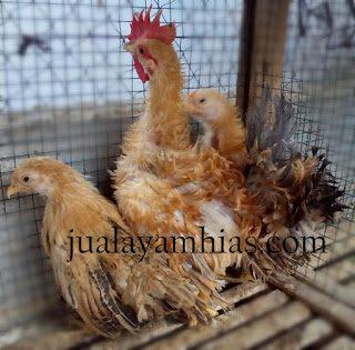 Dimana Yang Jual Ayam Kate Walik Di Indonesia?