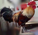 Ayam ketawa betina