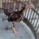 Ayam Ketawa Usia 2 Bulan