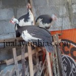 Ayam Mutiara Plangkok Dewasa2