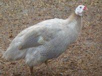 jual ayam mutiara