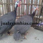 Ayam Mutiara Usia 5 Bulan
