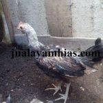 Ayam Onagadori Usia 3 Bulan1