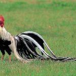 Bulu ekor ayam onagadori di Indonesia tidak sepanjang yang ada di luar negeri