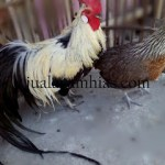 jual ayam phoenix