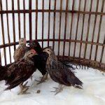 Ayam Phoenix Usia 3 Bulan