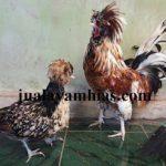Ayam Poland Dewasa.