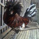 Ayam Poland Dewasa1