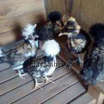 Ayam Poland Usia 1 Bulan