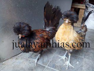 makanan ayam poland