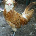 Jenis Ayam Poland