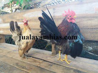 Ayam Serama Dewasa Sepasang3