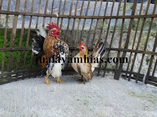 Adult Serama Chicken