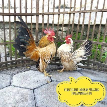 Ayam Serama Dewasa Sepasang9