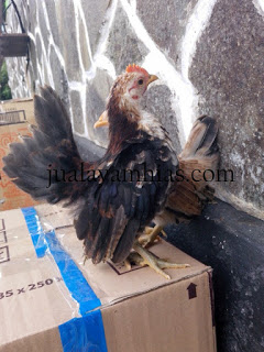 Ayam Serama Usia 4 Bulan1