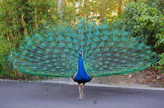 44 Gambar Burung Merak Kardus Gratis Terbaru