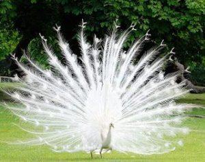burung merak betina