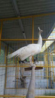 Karena burung merak ini sering bertengger maka sebaiknya di dalam kandang di beri tempat untuk bertengger