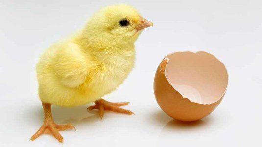 alat penetas telur