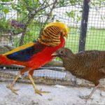 Golden Pheasant Dewasa Sepasang